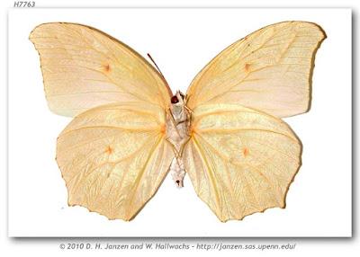 Mariposa anteo (Anteos clorinde)