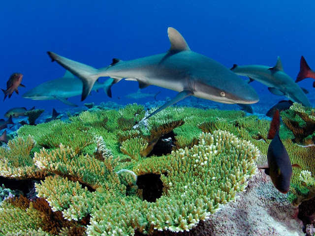 Gray Reef Sharks, Kingman Reef