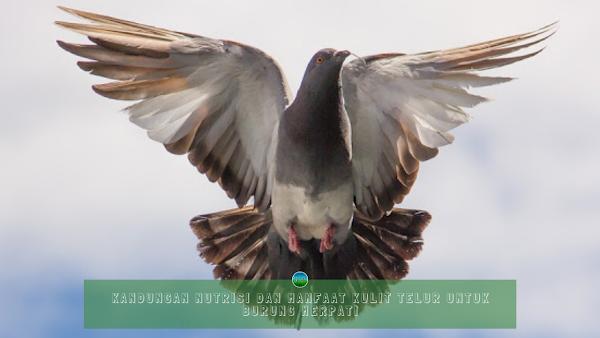 Kandungan Nutrisi dan Manfaat Kulit Telur Untuk Burung Merpati