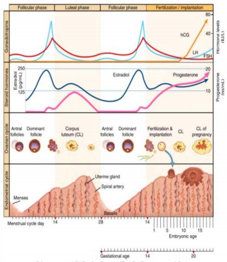 Fase Siklus Menstruasi