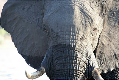 Fotografia de elefante africano