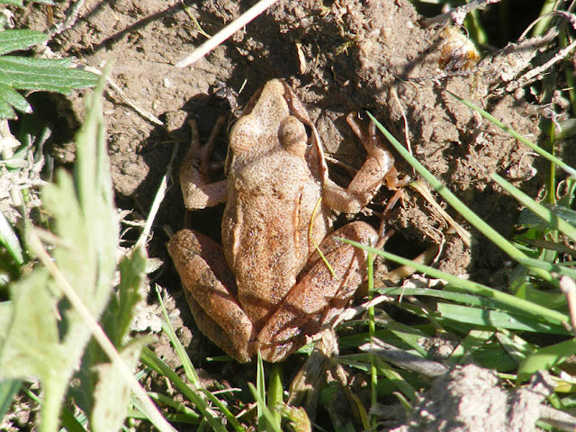 Agile Frog Rana dalmatina, Indre, France. Photo by Loire Valley Time Travel.