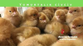 Süleyman paşa civciv