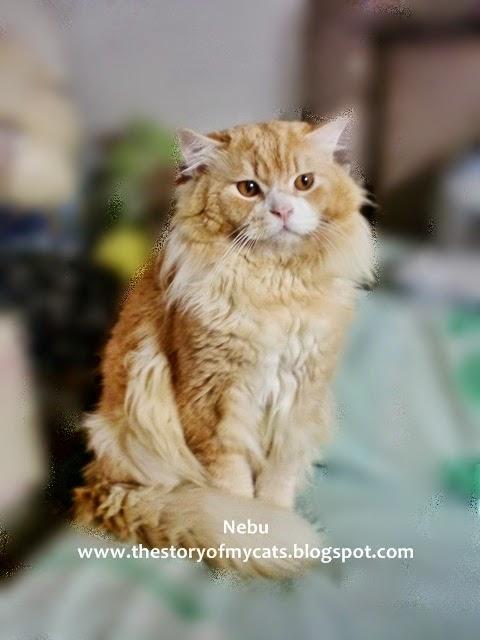 Jual Kucing Persia Medium Red Point Terbaru 2014-2015