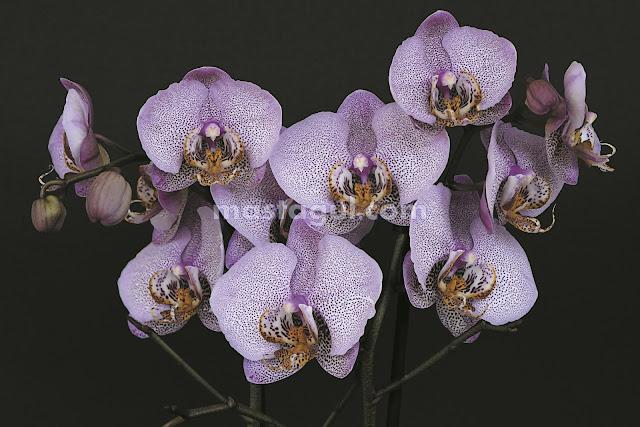 Tanaman Bunga Hias Anggrek