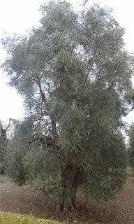 vendita olio extravergine oliva 100 italiano