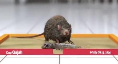 Cara Menggunakan Lem Tikus Yang Benar Untuk Menjebak Tikus Lebih Banyak
