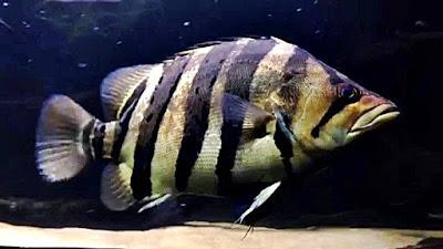 Ikan Tiger Datz