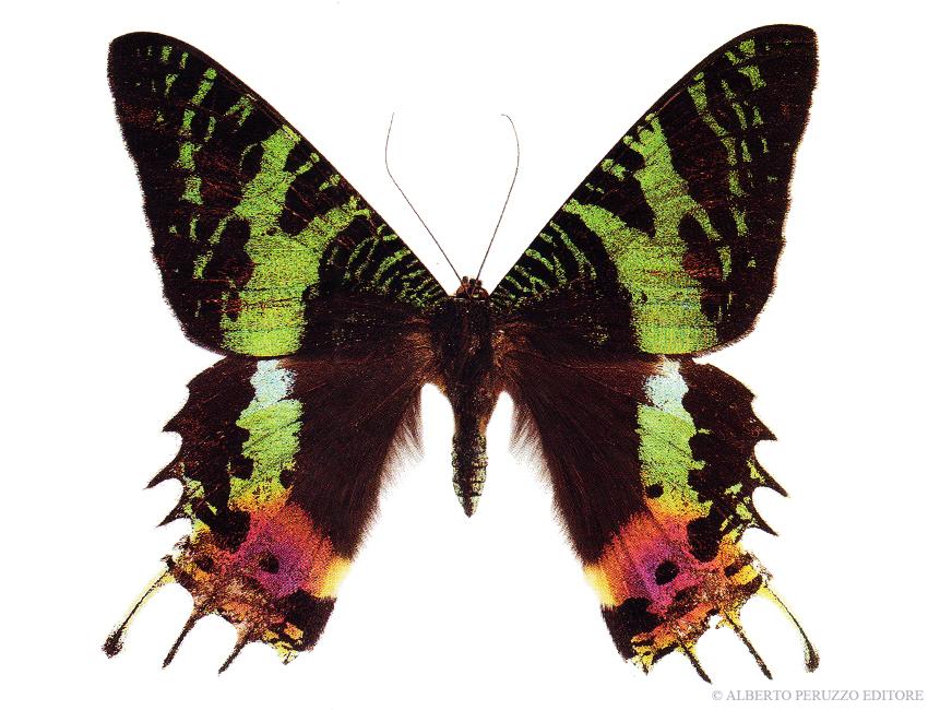 Universo dei lepidotteri 48 chrysiridia rhipheus - Colorazione dei bruchi ...
