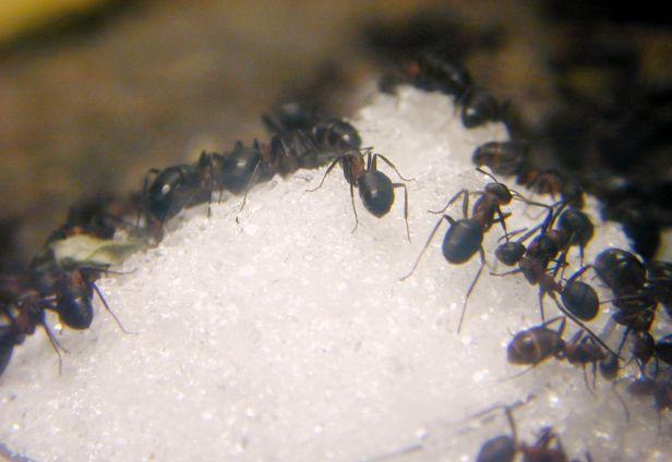 Semut kerana gula.jpg