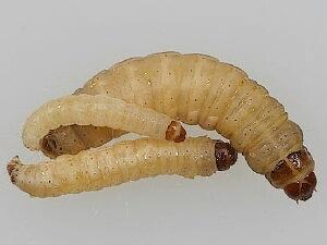 como reproducir gusanos tebos