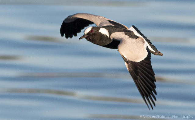 Blacksmith Lapwing in Flight Table Bay Nature Reserve Woodbridge Island Vernon Chalmers Photography