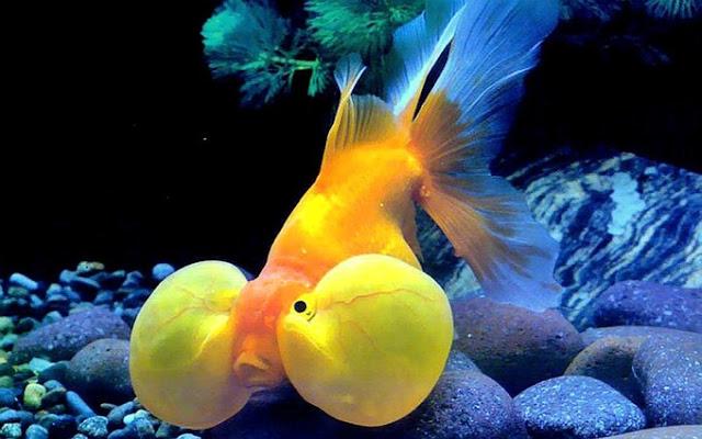 Dunia Ikan Hias - MAS KOKI MATA BALON