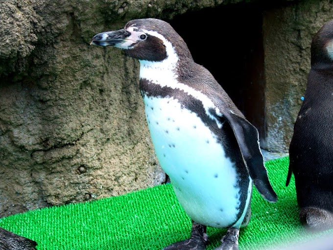 094 #ペンギン #水族館 #動物 #風景 #鳥