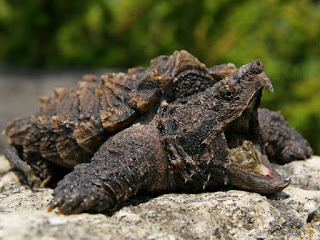 Alligator Snapping Turtle ( AST )