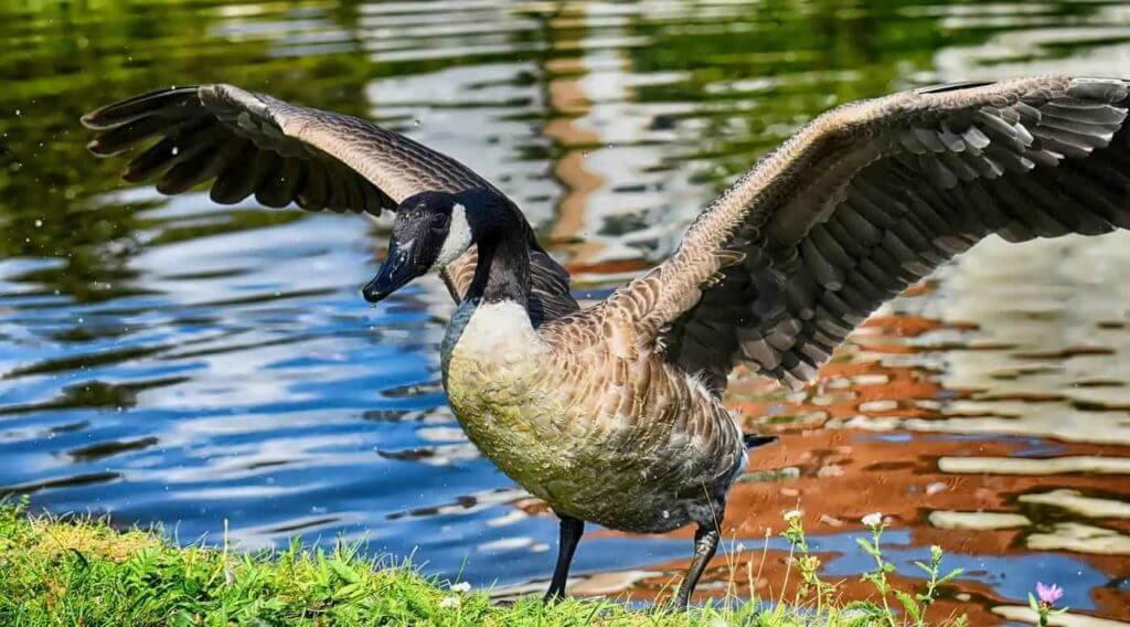 The Canada Goose (Branta canadensis)