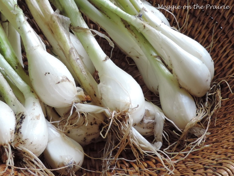 how to grow multiplying onions