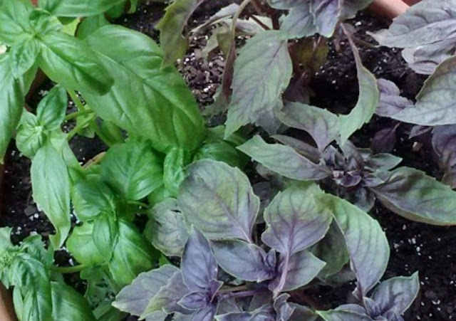 Basil plants in containers