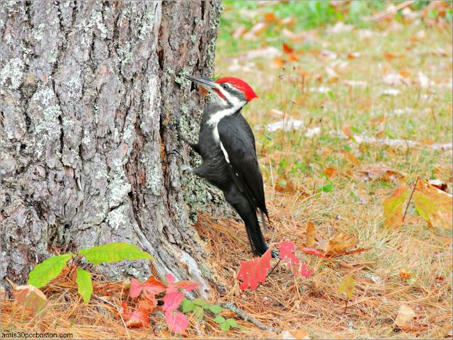 Pájaro Carpintero en Lakeside Cedar Cabins en Maine