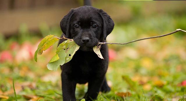 labrador negro con hierba