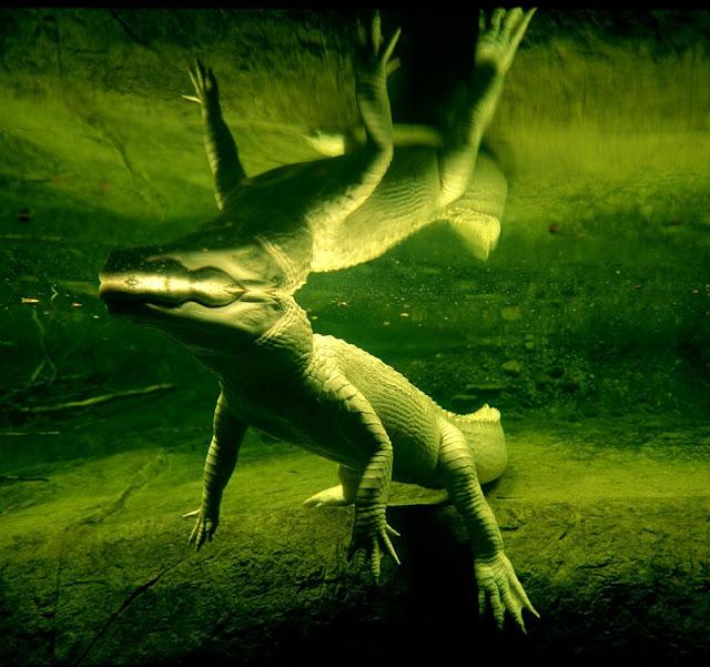 белый крокодил