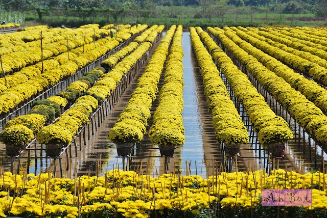 Flower farm for Tet holiday