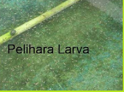 Pemeliharaan larva ikan papuyu/betok