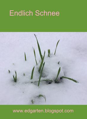 Gras im Schnee