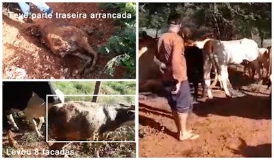Criminoso invade curral, esfaqueia gado, mata bezerra a facadas e leva parte da carne, vídeo