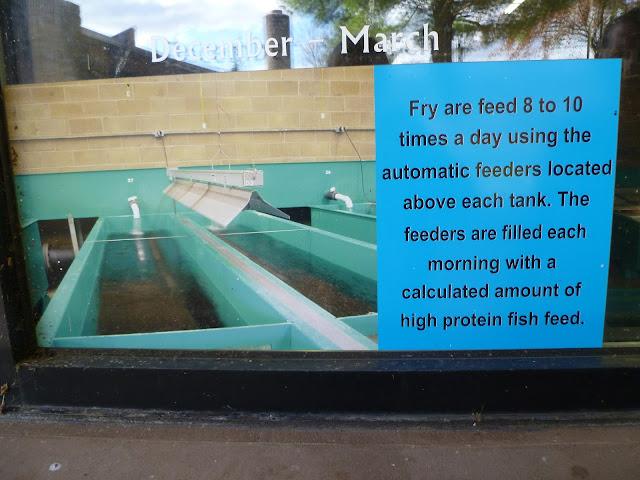 Trout in fiberglass tanks