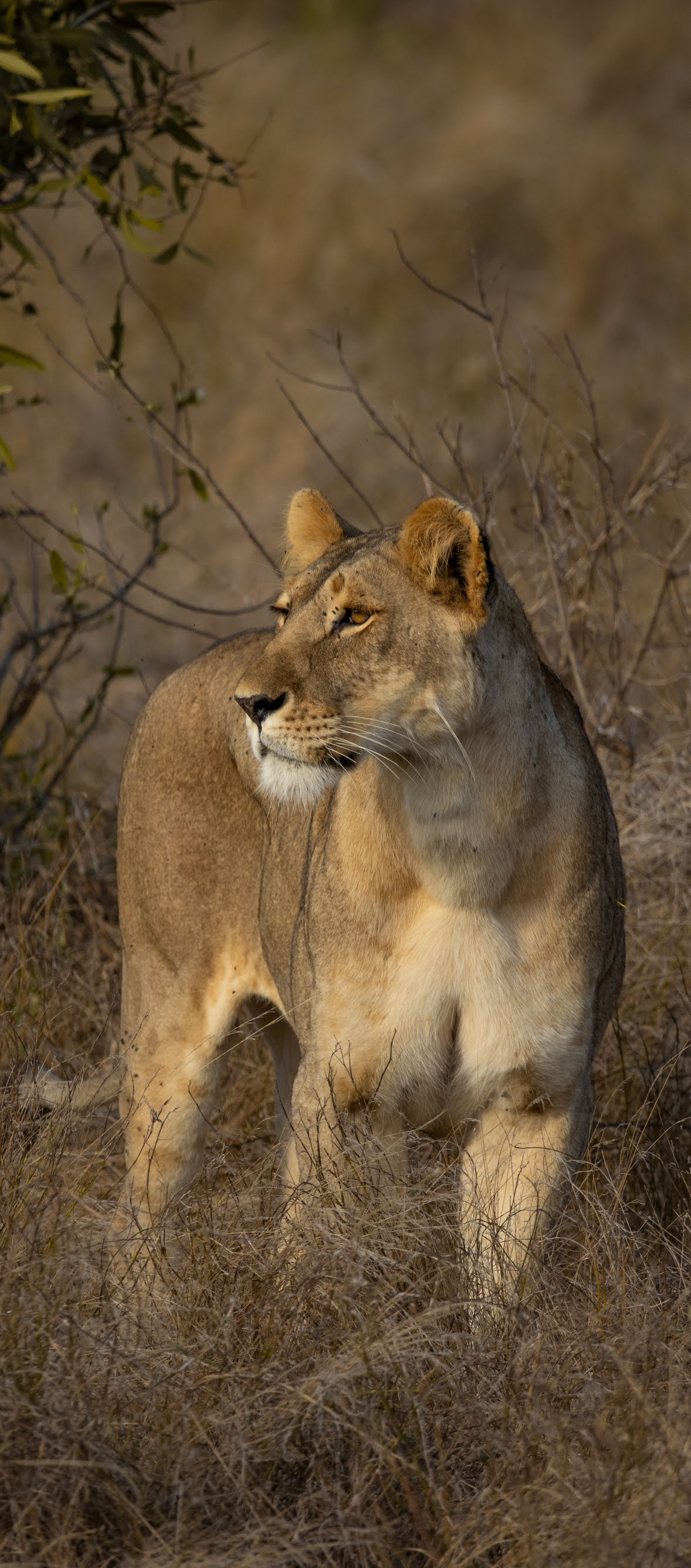 Lioness in the African savanna.
