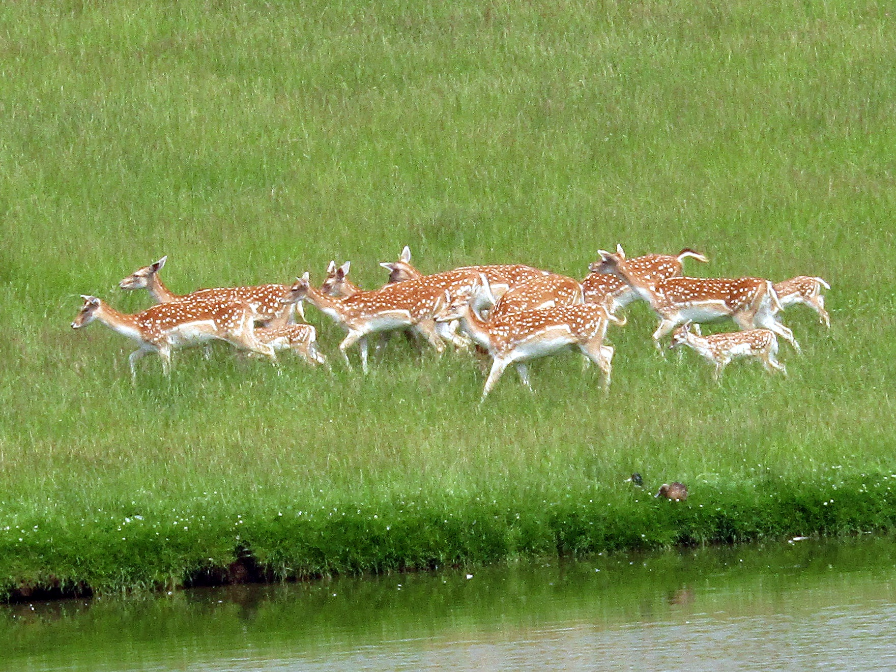 A photo of a herd deer at Whipsnade Zoo.