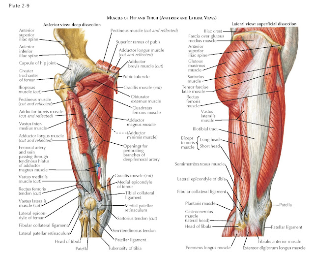 MUSCLES OF HIP AND THIGH (ANTERIOR AND LATERAL VIEWS)