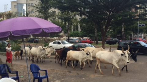 cow causes accident omi adio ibadan