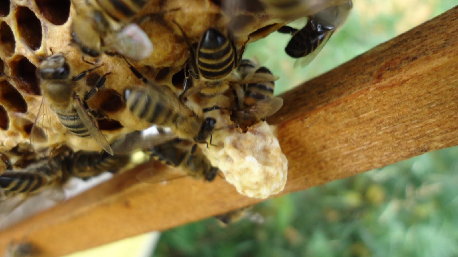 Нозематоз — сезонная болезнь пчел