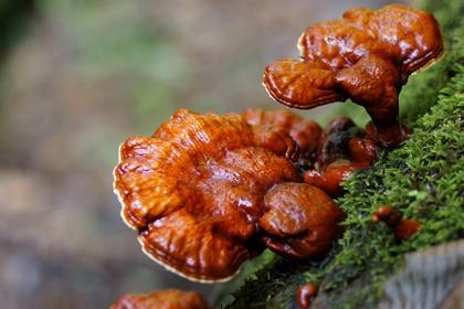 เห็ดหลินจือแดง @ mushroomsworld.wordpress.com