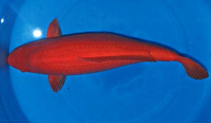 50+ Jenis Ikan Koi Beserta Gambar dan Harganya Terbaru