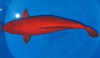 Jenis Koi Benigoi atau Higoi Fish