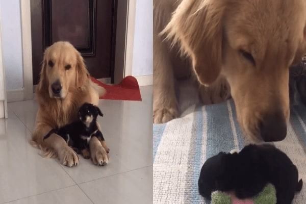 Golden Retriever Makes Lovable New Young Puppy Buddy
