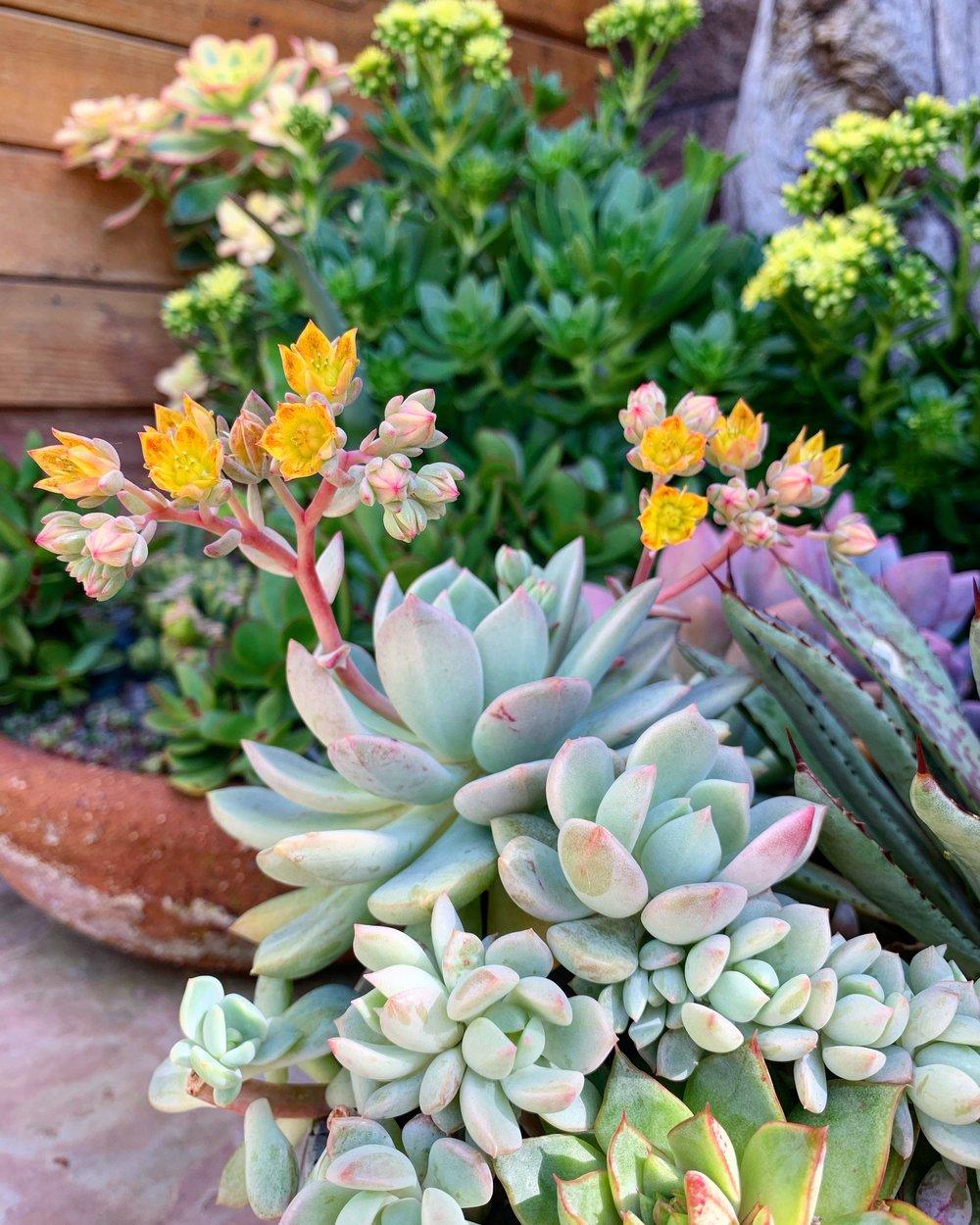 Especie de planta suculenta con flor