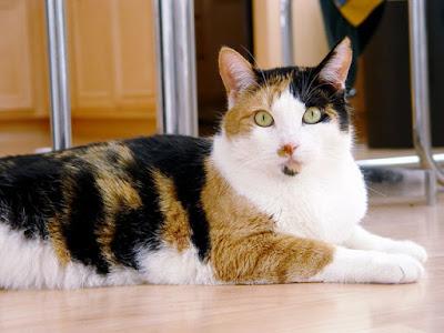 Alasan Kenapa Kucing Bisa Belang Tiga