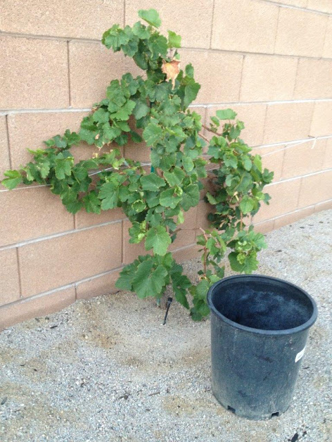 Keep Grape Vines Away from Walls