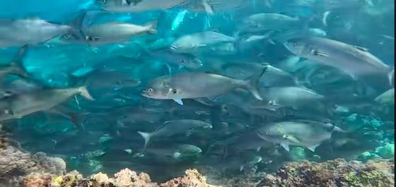 A huge shoal of bluefish