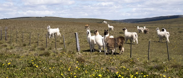 2 Week Patagonia Itinerary: Alpacas at the roadside between Puerto Natales and Punta Arenas Chile