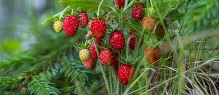 Wild strawberries or raspberrys jelly