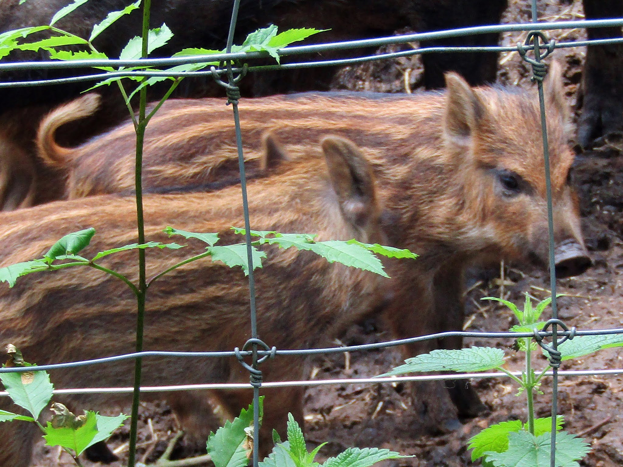 A photo of wild boar piglets at Whipsnade Zoo.