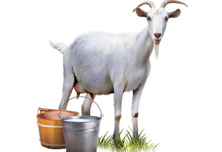 Goat Milk Cure from Dengue