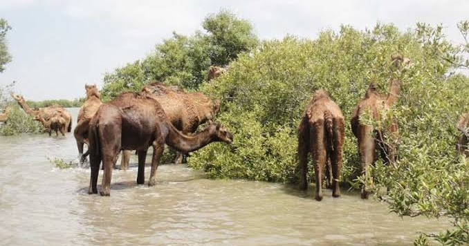 Kandla Port Trust activities 'destroyed' mangroves, affecting rare camel species: NGT