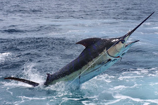 Ngeri ! Detik-Detik Moncong Ikan Marlin Tertancap Di Leher Bocah Ini Saat Memancing