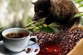Perbedaan kopi luwak robusta dan kopi arabika